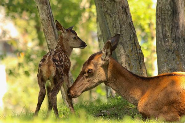 foto di due caprioli al parc animalier di introd